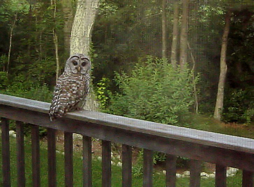 barred owl on deck