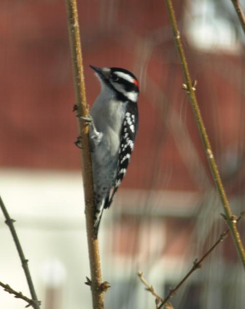 Downy Woodpecker Drumming Downy Woodpecker