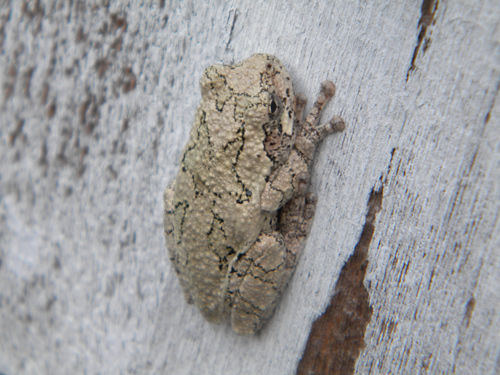 Grey tree frog on house
