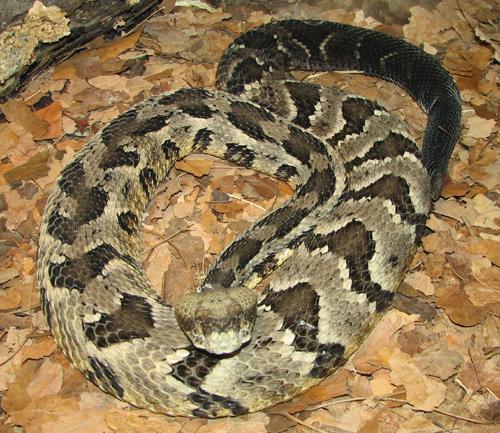 Diamondback Vs Timber Rattlesnake