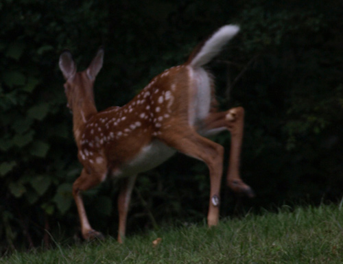 White tail showing